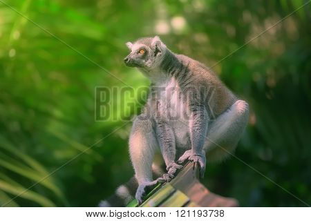 Ring-tailed lemur sun-loving primates sitting among trees