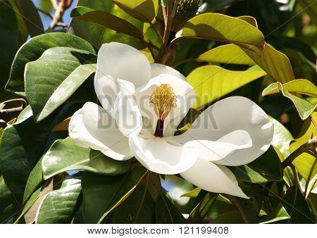 Delicate White Flower Ficus