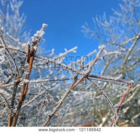 Frozen Branch Of Barberry Bush In Winter Covered Of Hoarfrost