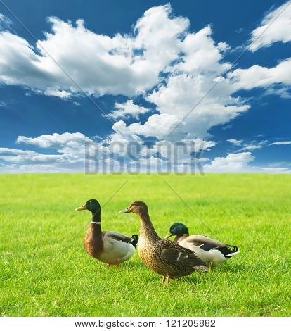 ducks on a green meadow under a cloudy sky