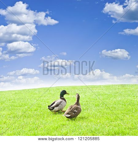 two ducks on a green meadow