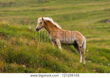 One Palomino horse on a meadow pasturing ** Note: Visible grain at 100%, best at smaller sizes