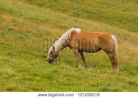 A Palomino horse on a meadow pasturing ** Note: Visible grain at 100%, best at smaller sizes