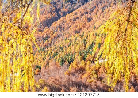 Autumnal Forest Shows Its Colour In The Italian Alps Mountain