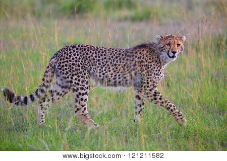 Beautiful Young Cheetah Hunting At The Masai Mara National Park Kenya