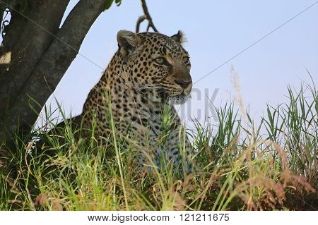 Portrait Of A Leopard At The Masai Mara National Park Kenya