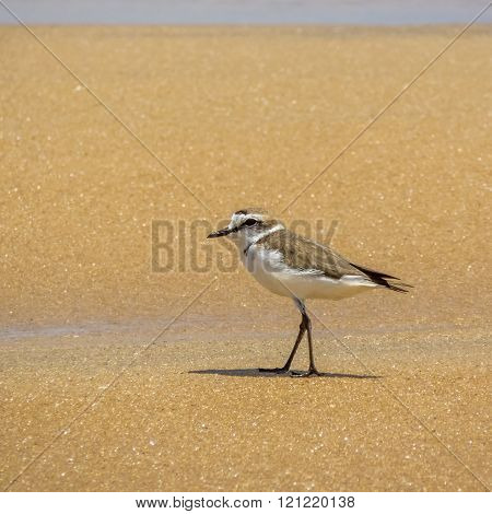 Kentish plover (Charadrius alexandrinus ) standing on the beach, Arugam bay, Sri Lanka
