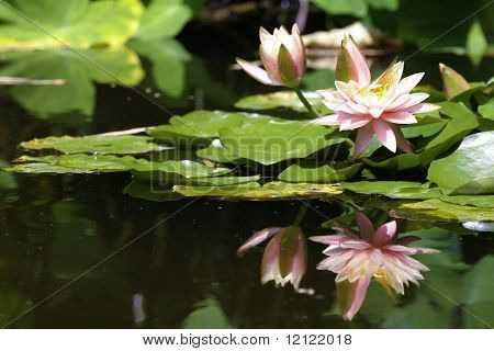 Lilies with reflection