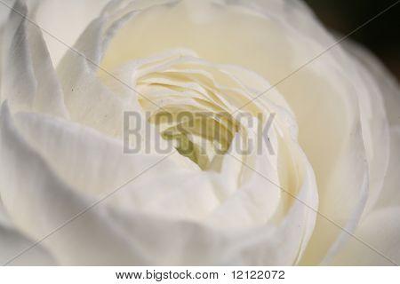 Macro of a white rose
