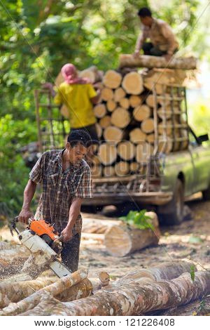 TRANG, THAILAND, JANUARY 12, 2016 : Lumberjack cutting rubber tree with chainsaw for industrial exploitation in Trang, south Thailand.