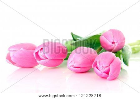 Pink tulips, studio isolated on white.