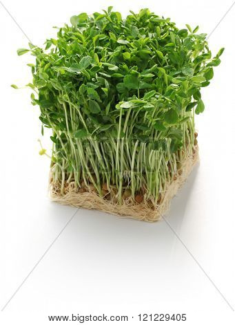 pea shoots, chinese vegetable isolated on white background