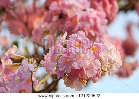 Close up of Pink Trumpet