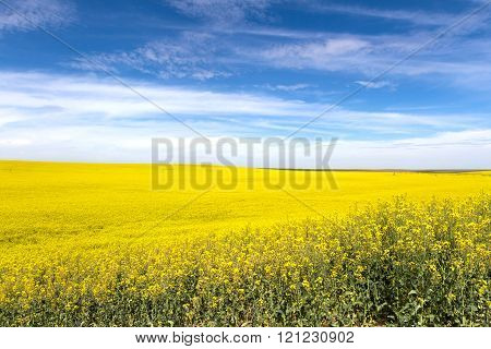 Yellow Canola Flower and blue sky in Washington