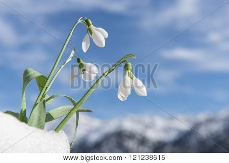 snowdrop flowers.black background.Harbingers of spring season.flowers used in medicine.