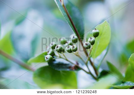 Unripe Aronia or black chokeberry, berry fruit on branch in organic orchard, in spring