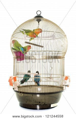 cage with lovebird in front of white background