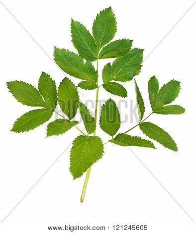 Green Leaf Against A White Background