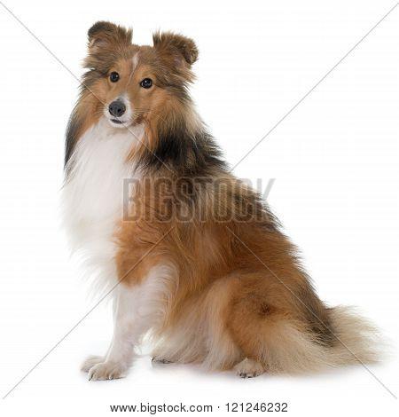 shetland dog in front of white backrgound