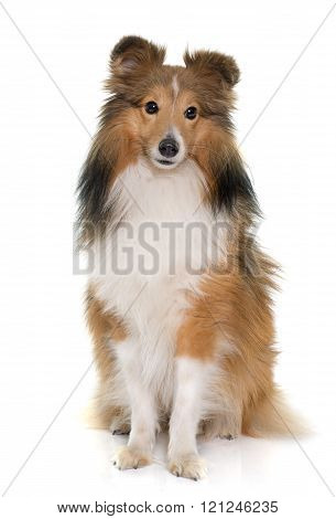 shetland dog in front of white backrgound