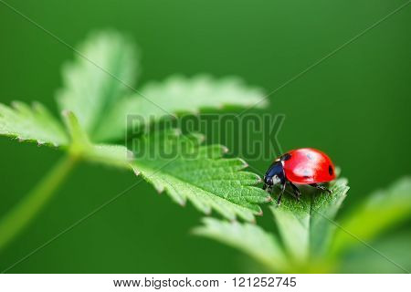 Ladybug On Leaf And Green Background