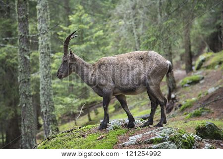Female alpine ibex on the rocks in a wood