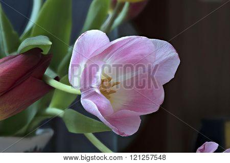 Blown Beautiful Tulip