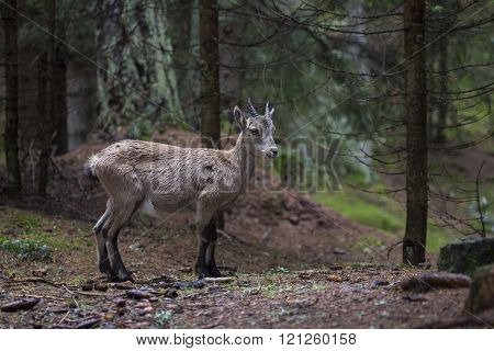 Baby Alpine Ibex In A Wood