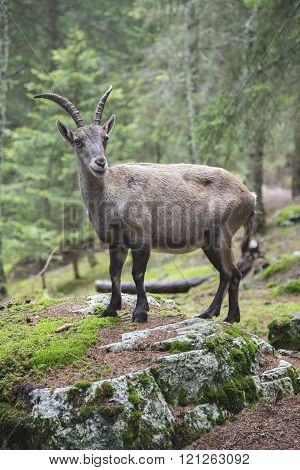 Female alpine ibex standing on a rock