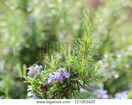 Detail of Fresh Rosemary Herb With Blossoming Flowers