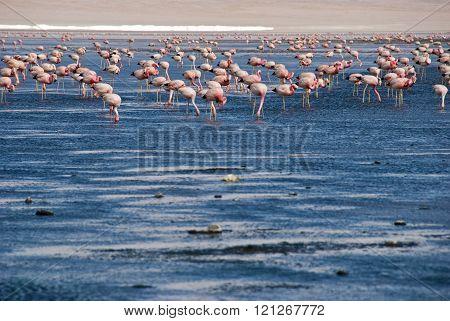 Flamingos in the Laguna Colorada , Salar de Uyuni , Bolivia .