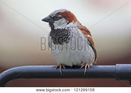 Sparrow sitting on a handrail