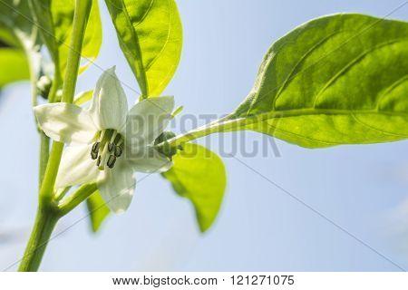 Bell pepper flower