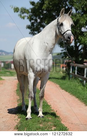 Amazing White Shagya Arab Standing On The Path
