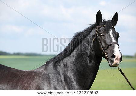 Amazing Black Stallion Of Welsh Part-bred