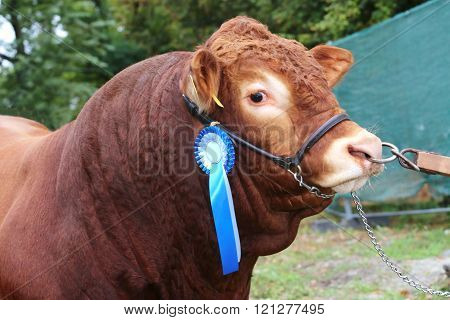 Side View Head Shot Of An Award Winning Cattle Cow With Rosette Ribbons