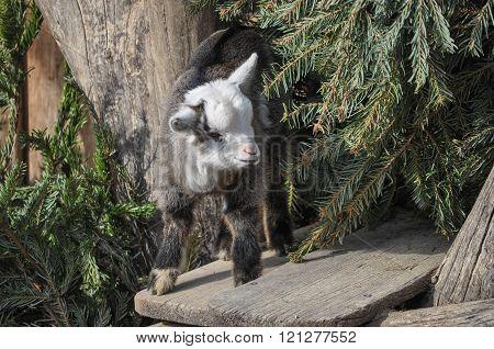 Goat Mammal Animal