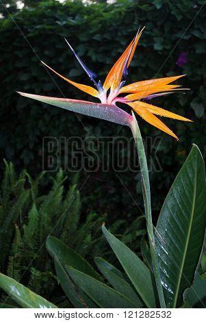Bird of Paradise plant.