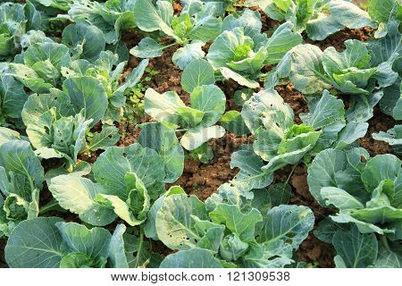 green cabbage in growth at vegetable garden