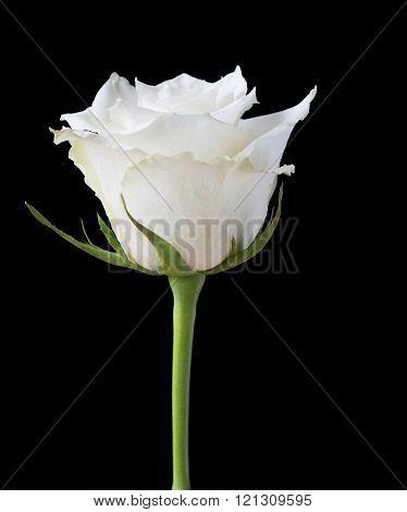 White rose flower on a black background