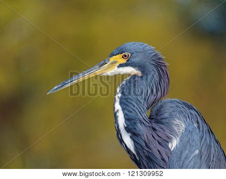 Extreme Close Up Tricolored Heron