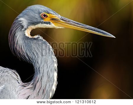 Extreme Close UpTricolored Heron in Profile