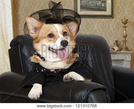 Welsh Corgi Pembroke Sitting In A Black Chair