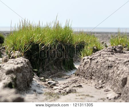 Common cord-grass (Spartina anglica) tussocks