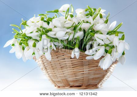 Bunch of snowdrops in basket on blue background