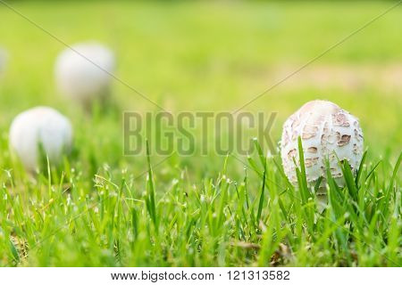 White Toxic Mushroom