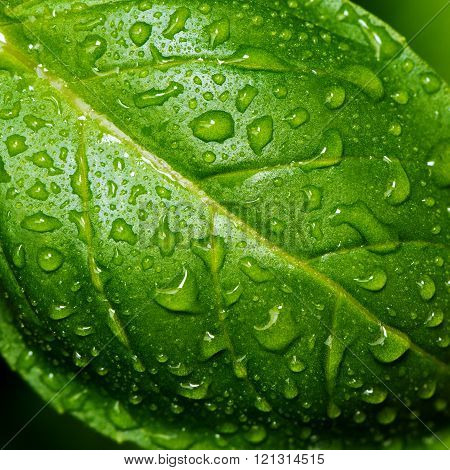 Basil Leaf With Water Drops