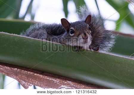 Adorable young Eastern Gray Squirrel resting in a Palm Tree on Palm Frond