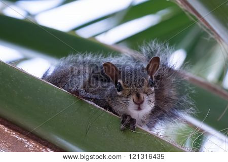 Young Eastern Gray Squirrel resting on Palm Frond