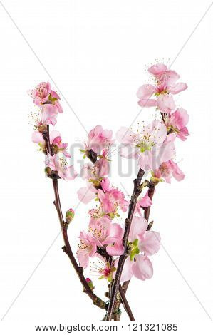 Almond Tree Twigs Isolated On White